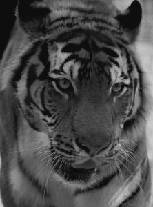 sib-tiger