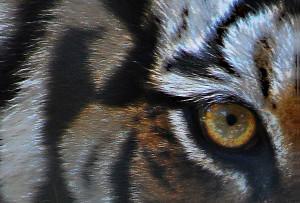 tiger's eye 2